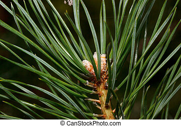 Green sprig of pine is growing in a spring forest. Close up.