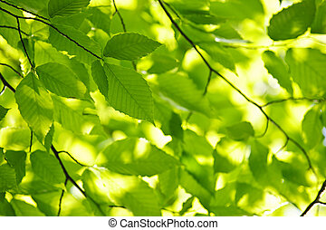 Green spring leaves - Green spring tree leaves in sunshine,...