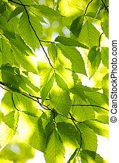 Green spring leaves - Green spring tree leaves in sunshine,...