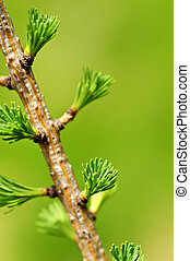 Green spring needles budding new life in clean environment