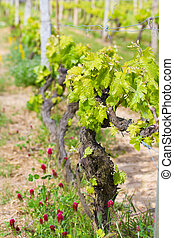 green spring vineyard