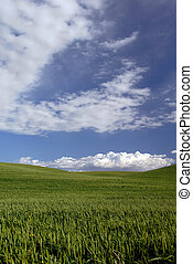 Green Spring Wheat - Rolling Hills of Spring Green Wheat...