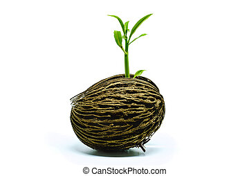 Green sprout growing from Cerbera odollam seed on white background