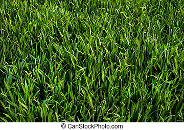 green sprouts of winter wheat or rye, top view