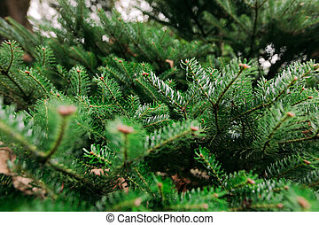 green spruce branches. background
