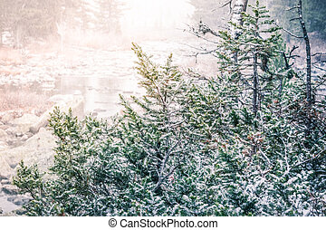 Green spruce branches under the snow. Snowfall in the forest.