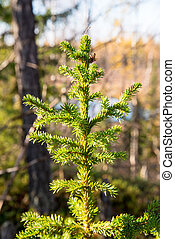 Green spruce on the background of an autumn forest