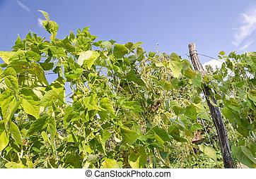Green stalks of a string bean in the garden
