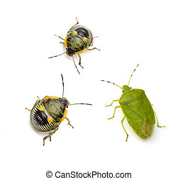 Green Stink Bug Adult and Nymph - Green Stink Bug adult and ...