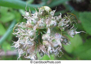 Green Stink Bugs on Onion Flower