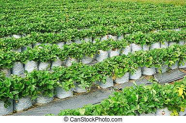 Green strawberries garden