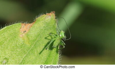 Green striped Grasshopper on the leaf