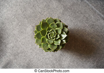 Green succulent on gray fabric background.