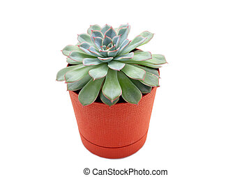 green succulent plant in a pot isolated on white background