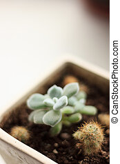 Green succulent plant in a white flower pot.