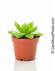 Green succulent plant in brown pot on white background