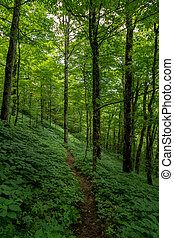 Green Summer Forest with Thin Dirt Trail
