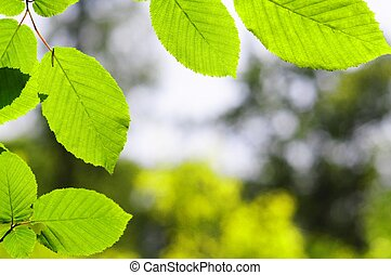 leaves and copyspace - green summer leaves and copyspace...