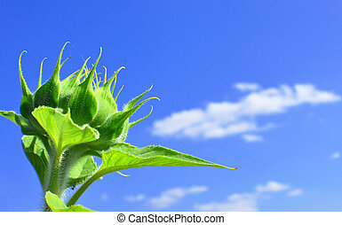 green sunflower in sunny day