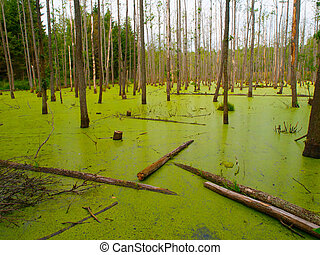 Green swamp in the forest - Green swamp full of algae in the...