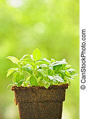 Green sweet basil plant