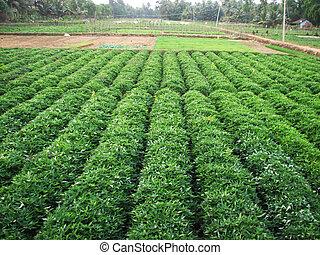 Green sweet potato plant. Leaf of vegetable. - Green potato...