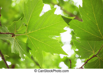 Green sycamore leaves on a branch macro