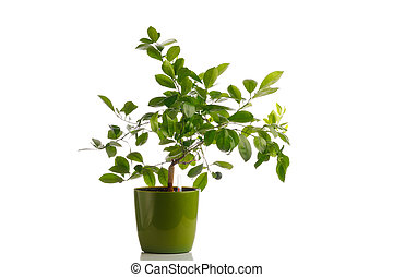 green tangerine tree in self watering planter pot, isolated on white