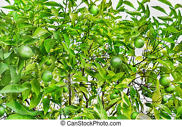 Green tangerines growing on a tree