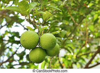 tangerines growing on a tree branch
