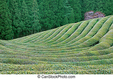 Green Tea and Evergreens