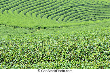 Green tea bud and leaves.