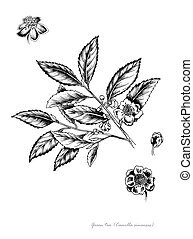 Green tea (Camillia sinensis)