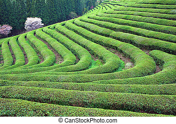 Green Tea Curved