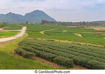 green tea farm on the hill at north of thailand