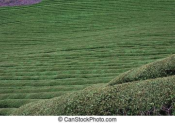 Green Tea Hill