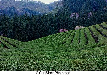 Green Tea Landscape
