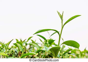 Green tea leaf isolated.