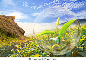 Green tea leaf organic in the bubble on Beautiful landscape and tea plantation background.