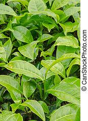Green Tea Leaves at Green Tea Farm at Cameron Highlands, Malaysia