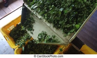 green tea leaves falling from machine to baskets -...