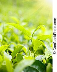 Green tea leaves on plantation at Ceylon