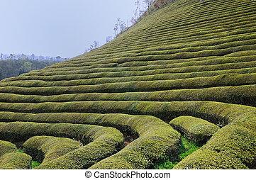 Green Tea Mountain