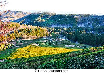Green tea plantation in winter