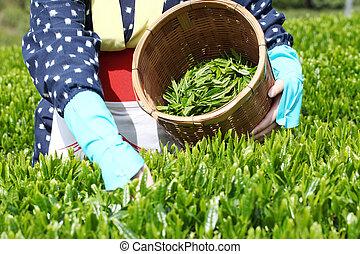 Green tea plantation - Woman harvesting tea leaves