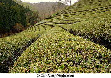 Green Tea Row