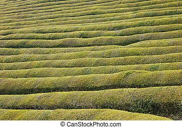 Green Tea Rows