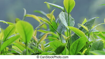 Green tea trees in spring, close up view