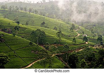 green tee terrasses in the highland from Sri Lanka in fog...