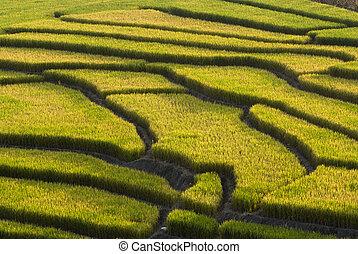 Terraced Rice Field - Green Terraced Rice Field in...